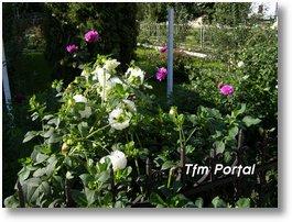 Campulung Moldovenesc flori30