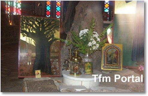Sfantul Efrem cel Nou Nea Makri copac