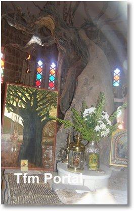 Sfantul Efrem cel Nou Nea Makri copac0