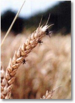 crop circle muste