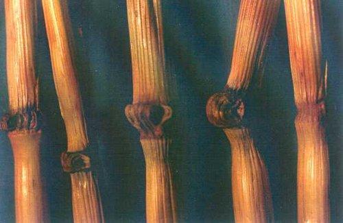 crop circles tulipina1