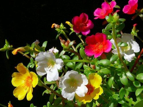 floare de piatra iarba grasa