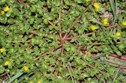 Iarba grasa Portulaca oleracea1