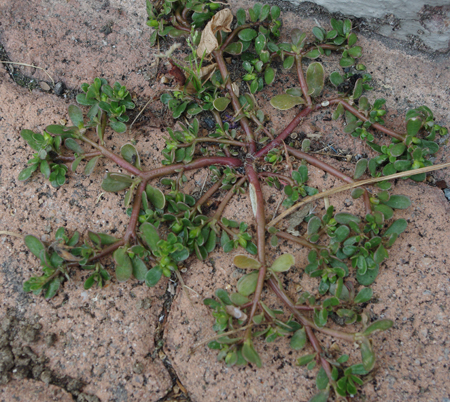Iarba grasa Portulaca oleracea5