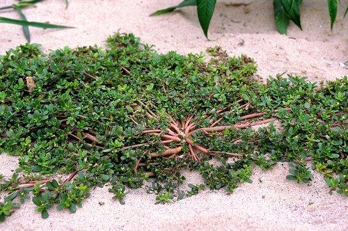 Iarba grasa Portulaca oleracea7