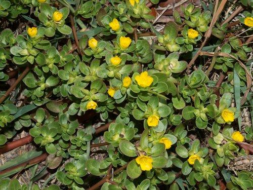 Iarba grasa Portulaca oleracea flori