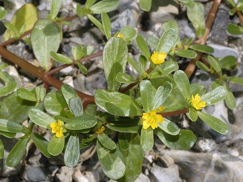 Iarba grasa Portulaca oleracea flori2